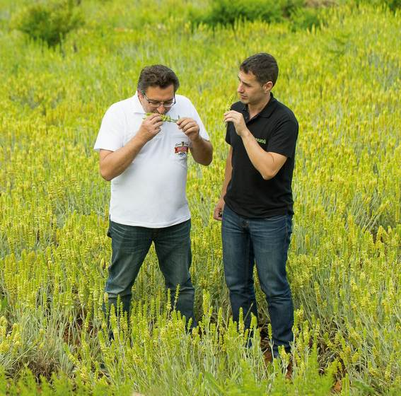 MTB plant manager Christos Dimtsoudis (left) examines the olfactory properties of the Sideritis plant, the raw ingredient in Tuvunu mountain tea.